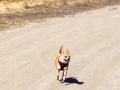 Ginger-run-dog