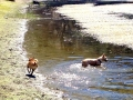 LittleMan-Ginger-pond-dog