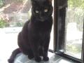 Nibby-cat